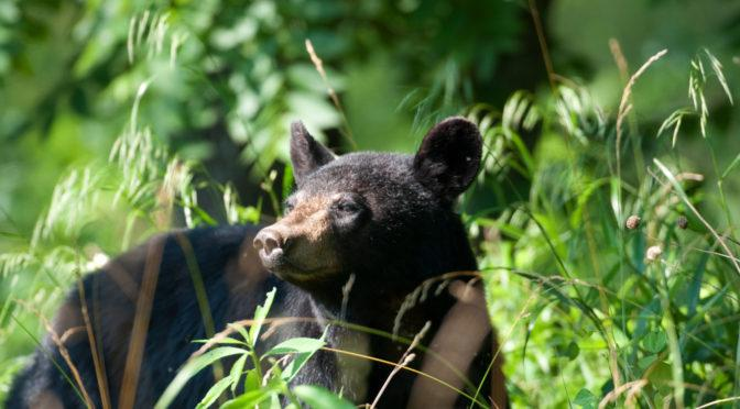 A black bear in the Smoky Mountains.